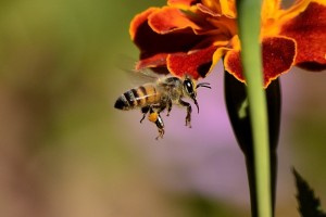 bee-sting-honey-bee-wings-honey-bees-insect